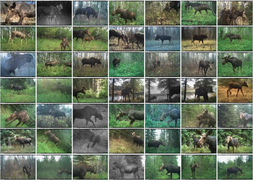 Moose of Whitefish Lake First Nation